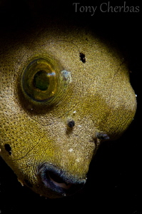 Juvenile Puffer... or Gollum from Lord of the Rings? --Ni... by Tony Cherbas