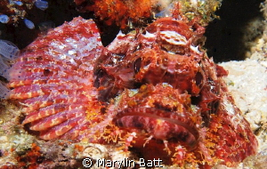 Scorpion fish by Marylin Batt
