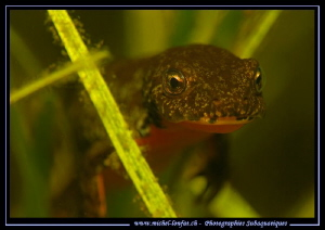Face to face with this beautiful little Alpine newt.... ;... by Michel Lonfat