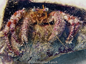 starry eyed hermit crab in a conch shell by Christopher Lynch