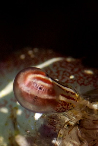 The eye of long-arm shrimp  (taken with wetdiopter +15 h... by Iyad Suleyman