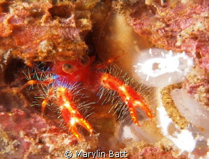 bug-eyed squat lobster by Marylin Batt