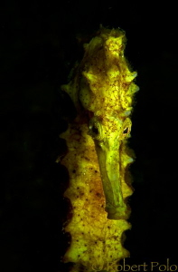 Yellow seahorse portrait by Robert Polo