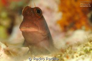 Red Lips Blenny by Pedro Padilla