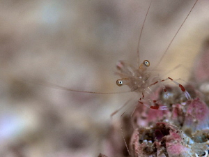 Cleaner Shrimp by Iyad Suleyman