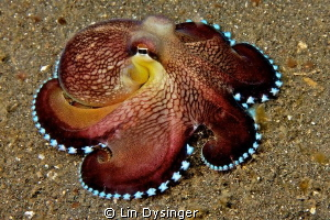 Coconut Octo by Lin Dysinger