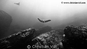 Eagle Rays swimming over rocks, at Ixtapa, México. by Christian Vizl