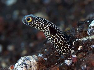 Garden Eel, Kubu by Doug Anderson