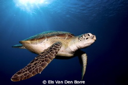 This green turtle stayed for more than 10 minutes with us... by Els Van Den Borre