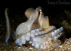 Dr. Octopus, I presume... by Tony Cherbas