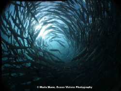 Schooling barracudas at Sipidan.  After many attempts, I ... by Maria Munn