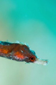 Juvenile Egyptian seahorse by Paul Colley
