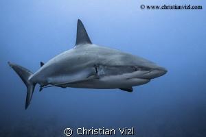 Portrait of a caribbean reef shark at Jardines de la Rein... by Christian Vizl