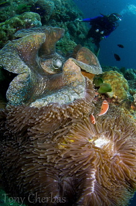 Giant Clam + Anemone + Diver: Twin Rocks, Anilao by Tony Cherbas