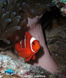 Spinecheek anemonefish by Giafferi Jonathan