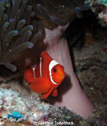 Spinecheek anemonefish by Giafferi Jonathan