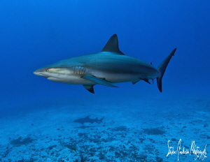 Always sharks on the shallow reefs of the Bahamas. These ... by Steven Anderson