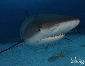 I enjoy the closeness and curious Reef Sharks and I almos... by Steven Anderson