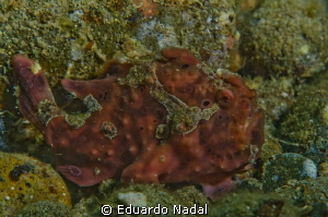 frogfish anilao f18, 1/200, 105 by Eduardo Nadal