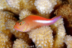 Archeye Hawkfish resting on the coral by Stuart Ganz