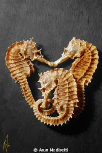 3 Seahorses killed in the name of science.  Part of a sp... by Arun Madisetti