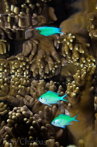 Soft Coral + Chromis + Reflection by Tony Cherbas