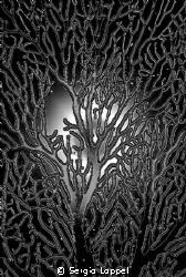 Gorgonia anamorfica by Sergio Loppel
