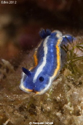 Hypselodoris tricolor