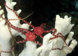 The Gathering Ruby brittle stars gathering at night just... by Maryke Kolenousky