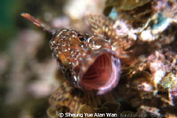 marbled rockfish, scorpion fish by Sheung Yue Alan Wan