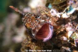 marbled rockfish, scorpion fish by Sheung Yue Alan Wan