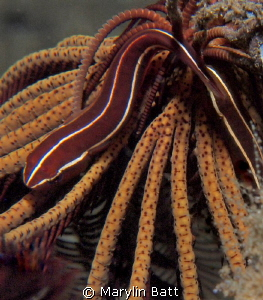 Cling Fish on Crinoid, seen on night dive. by Marylin Batt