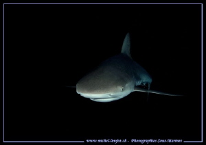Reef shark encounter - night dive... :O)... by Michel Lonfat