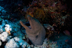 Moray Eel by Kirill Zinovyev