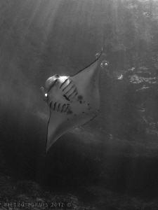 Manta Ray in Nusa Penida by Pietro Formis