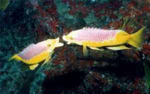 Two male Spanish hogfish fighting over territory. Taken w... by Luiz Rocha