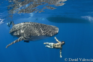 Friendly whale shark swims circles around the boat during... by David Valencia