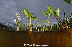 Menyanthes trifoliata. Sodankylä, North Finland.