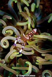 Commensal Shrimp by Gianni Cicalese