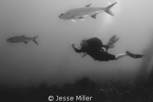 Diver getting a shot of a couple Tarpon. by Jesse Miller