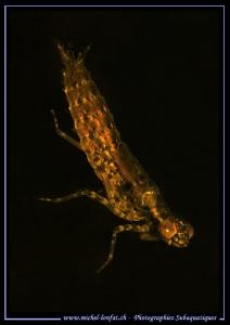 Larva of a Mayfly... :O)... by Michel Lonfat