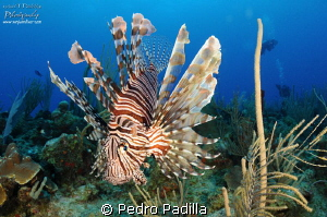 Lionfish by Pedro Padilla
