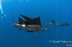 These were sailfish finishing a baitball and moving to an... by David Valencia
