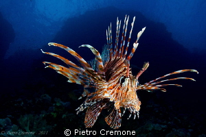 Lionfish by Pietro Cremone