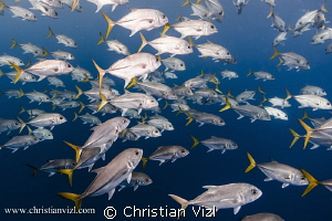 School of Jacks found at Jardines de la Reina, Cuba. by Christian Vizl