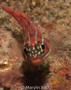 Hello from a Goby by Marylin Batt