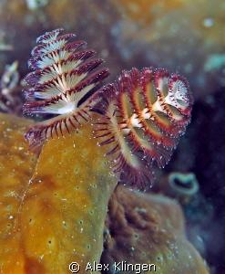 Pair of worms by Alex Klingen