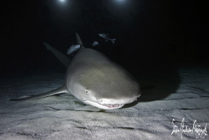 """After Midnite"" These Lemon Sharks are amazing to dive wi... by Steven Anderson"
