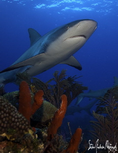 One Reef Shark that tried to cooperate with my shooting o... by Steven Anderson