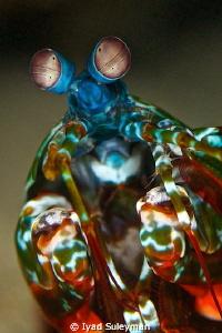 Mantis Shrimp Portrait by Iyad Suleyman